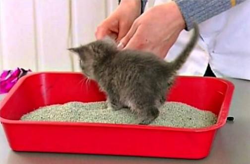 как приучить котенка к туалету в квартире быстро