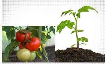 Когда высаживать семена на рассаду - сажаем томаты