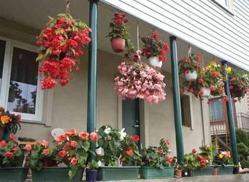 бегония для украшения балконов