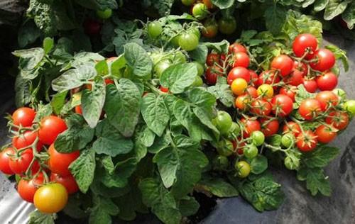 Помидоры черри сорта для открытого грунта низкорослые урожайные
