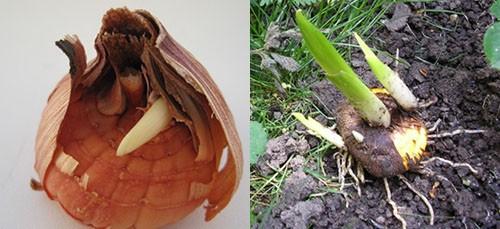 луковицы в чешуе и луковица гладиолуса перед посадкой