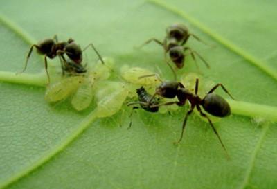 муравьи и тля на кустах