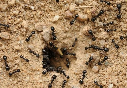 Муравьи черные в квартире как избавиться в домашних условиях