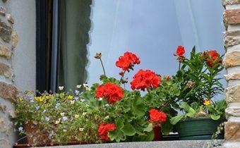 герань на окнах для защиты от комаров