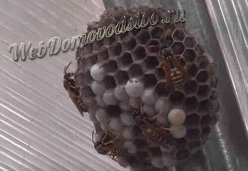 Где искать гнездо ос, как оно выглядит