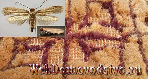 Как выглядит ковровая моль