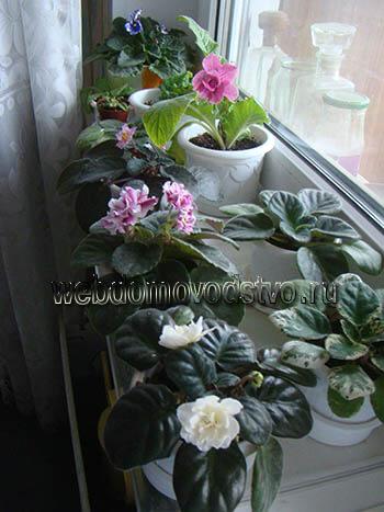 как цветут сенполии в городской квартире фото