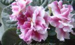 как цветет сенполия фото