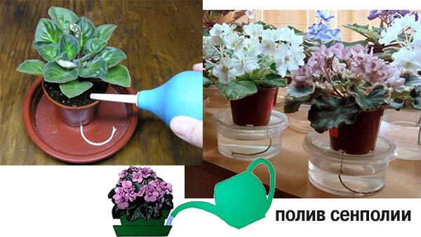 как правильно поливать узамбарскую фиалку, чтобы цвела