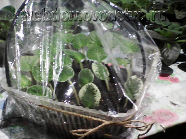 Тепличка на подоконнике для листовых черенков фиалок