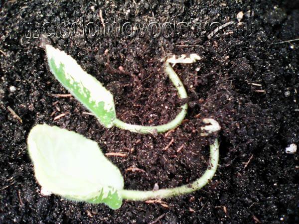 Листовые черенки для рассаживания сенполии фото