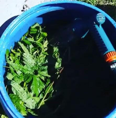 заливаем водой крапиву в бочке